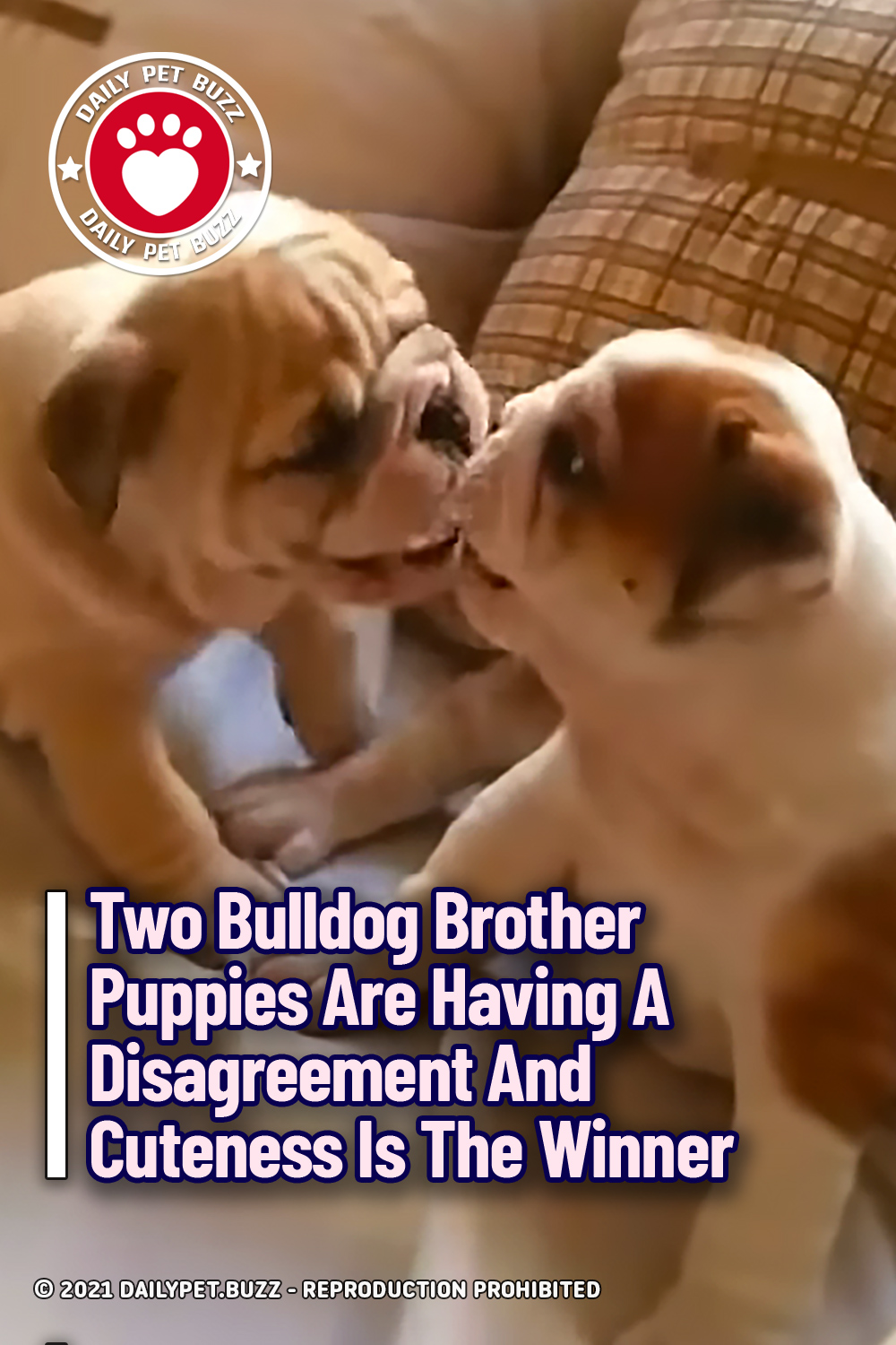 Two Bulldog Brother Puppies Are Having A Disagreement And Cuteness Is The Winner