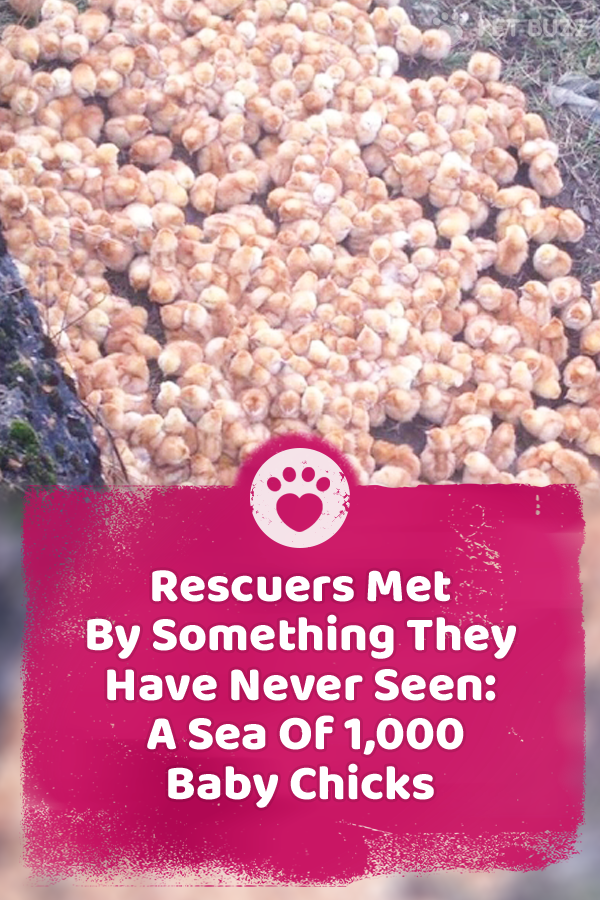 Rescuers Met By Something They Have Never Seen: A Sea Of 1,000 Baby Chicks
