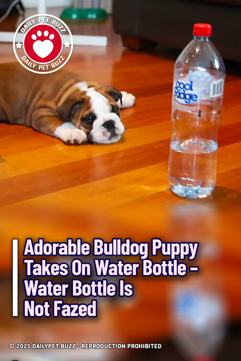 Adorable Bulldog Puppy Takes On Water Bottle – Water Bottle Is Not Fazed