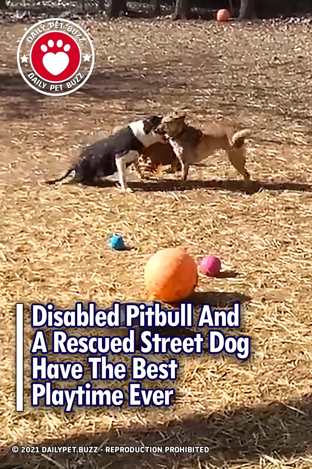 Disabled Pitbull And A Rescued Street Dog Have The Best Playtime Ever
