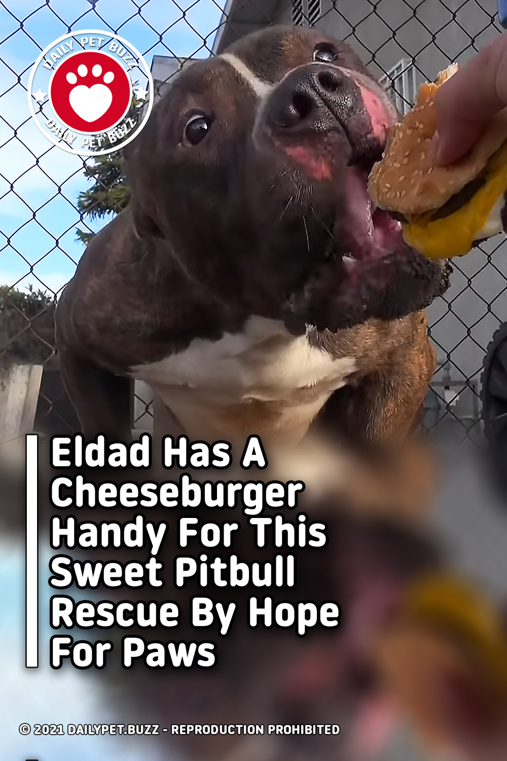 Eldad Has A Cheeseburger Handy For This Sweet Pitbull Rescue By Hope For Paws