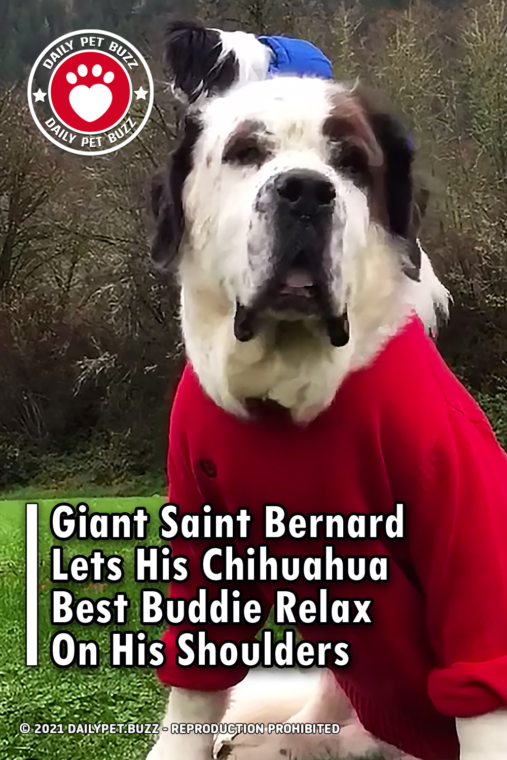 Giant Saint Bernard Lets His Chihuahua Best Buddie Relax On His Shoulders