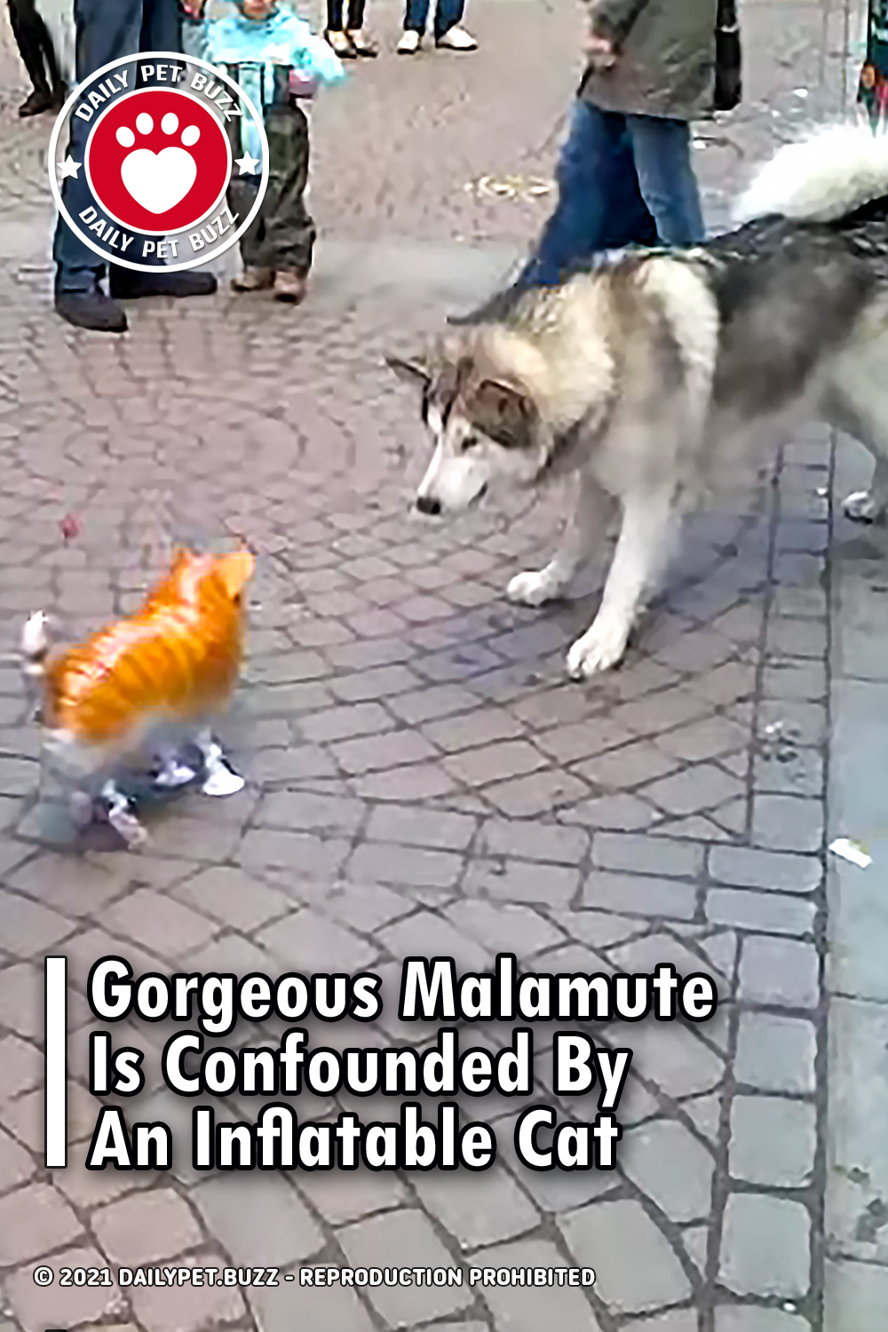 Gorgeous Malamute Is Confounded By An Inflatable Cat
