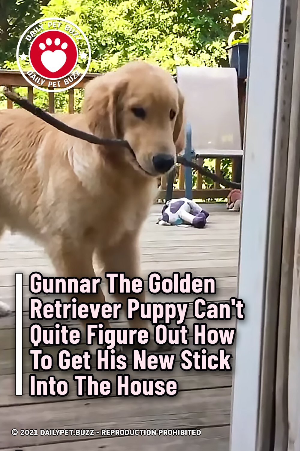 Gunnar The Golden Retriever Puppy Can\'t Quite Figure Out How To Get His New Stick Into The House