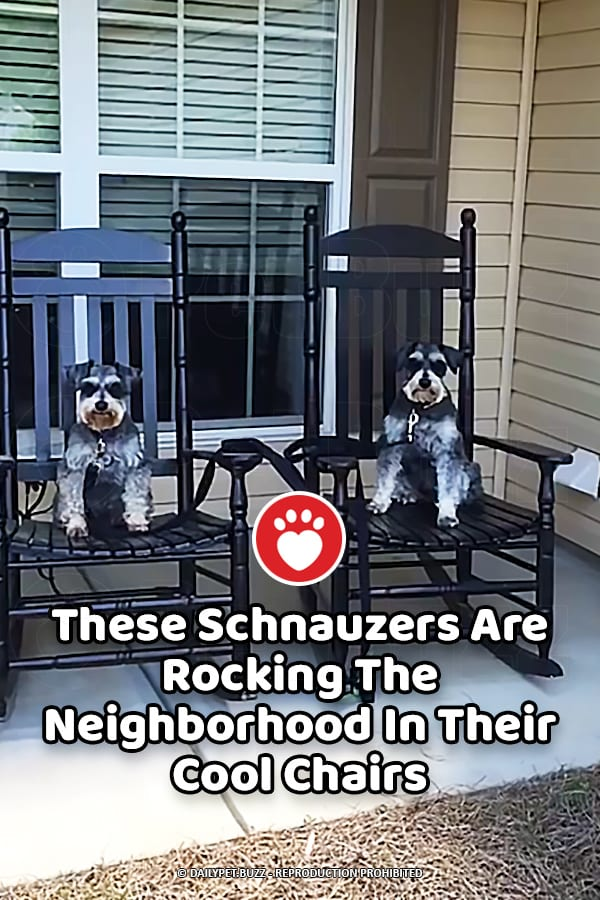 These Schnauzers Are Rocking The Neighborhood In Their Cool Chairs