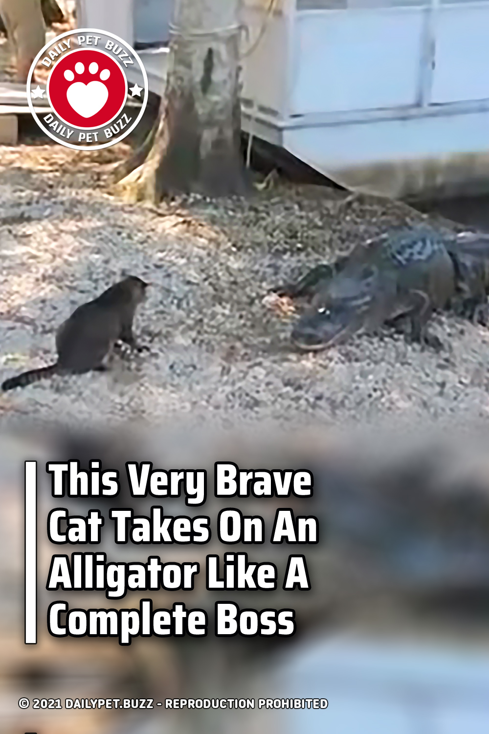 This Very Brave Cat Takes On An Alligator Like A Complete Boss