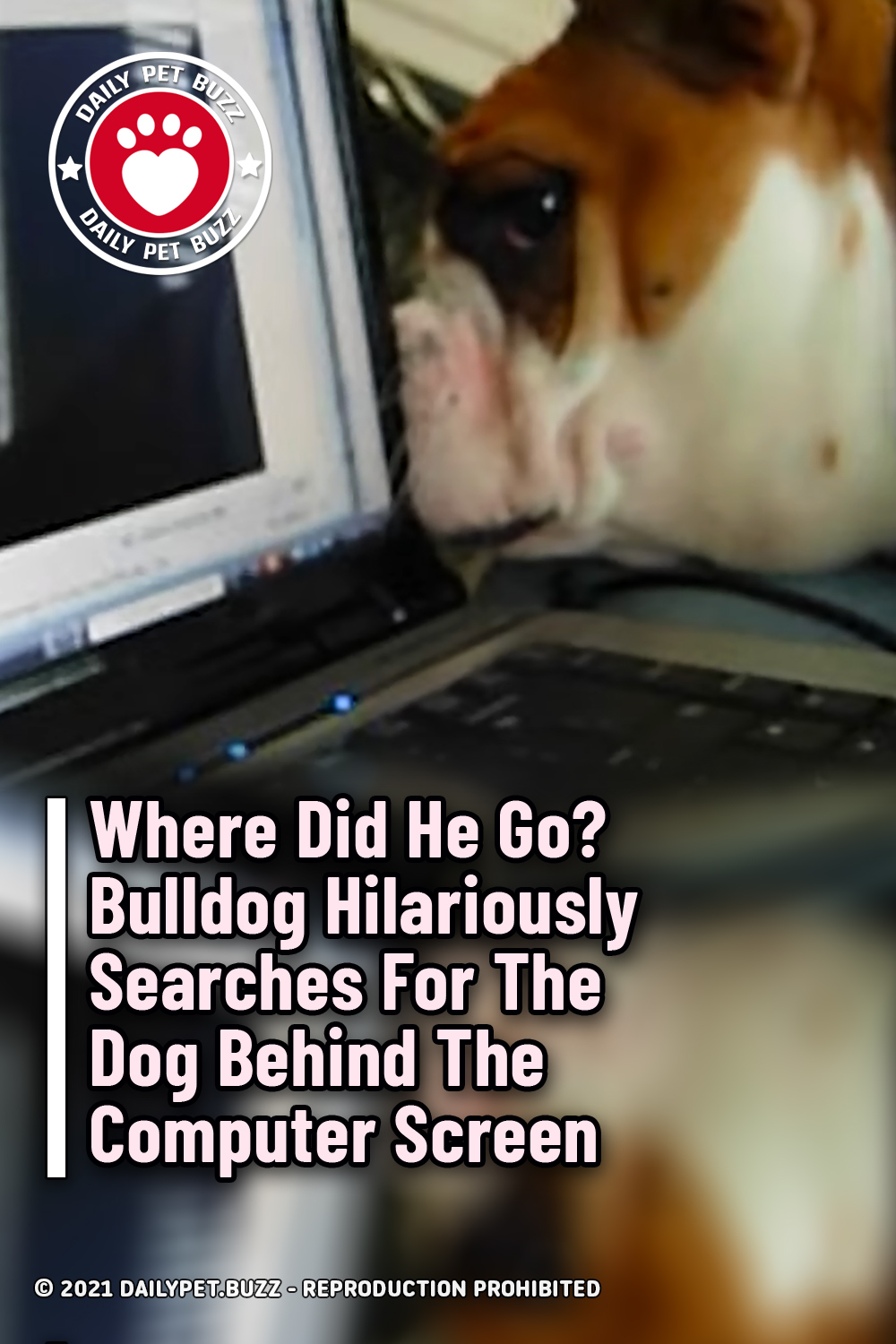 Where Did He Go? Bulldog Hilariously Searches For The Dog Behind The Computer Screen