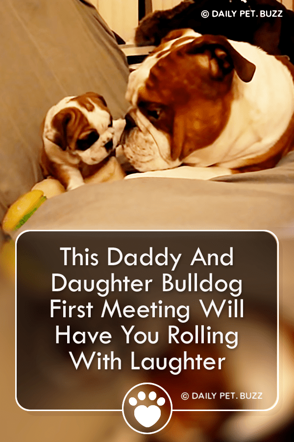 This Daddy And Daughter Bulldog First Meeting Will Have You Rolling With Laughter