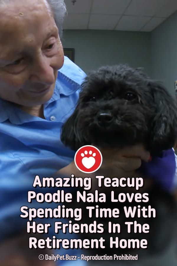 Amazing Teacup Poodle Nala Loves Spending Time With Her Friends In The Retirement Home