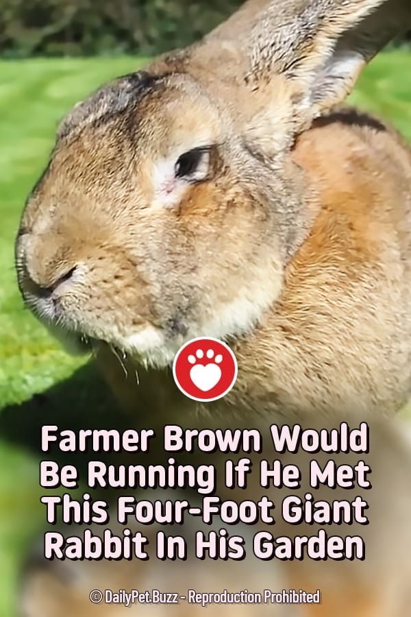 Farmer Brown Would Be Running If He Met This Four-Foot Giant Rabbit In His Garden