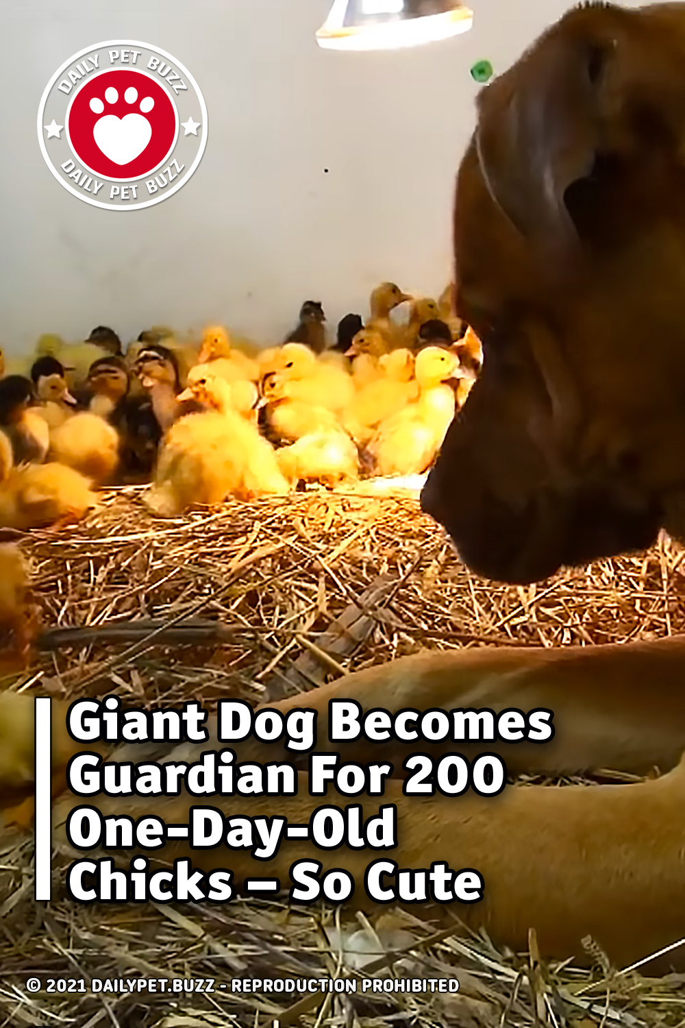 Giant Dog Becomes Guardian For 200 One-Day-Old Chicks – So Cute