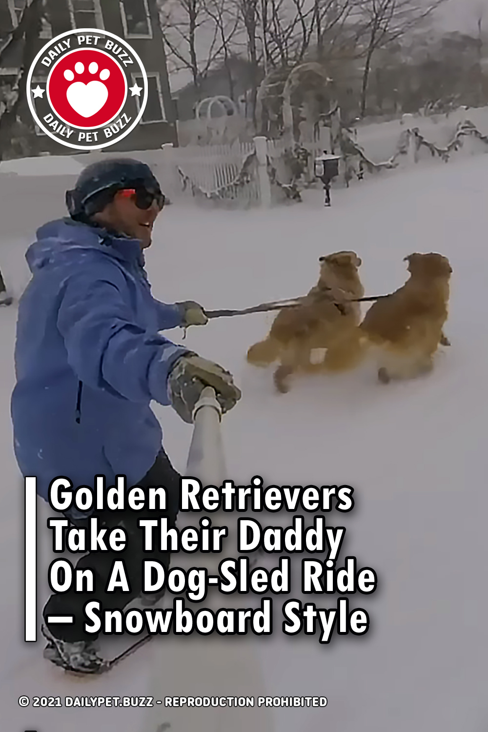 Golden Retrievers Take Their Daddy On A Dog-Sled Ride – Snowboard Style