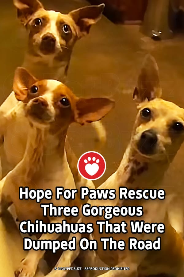Hope For Paws Rescue Three Gorgeous Chihuahuas That Were Dumped On The Road