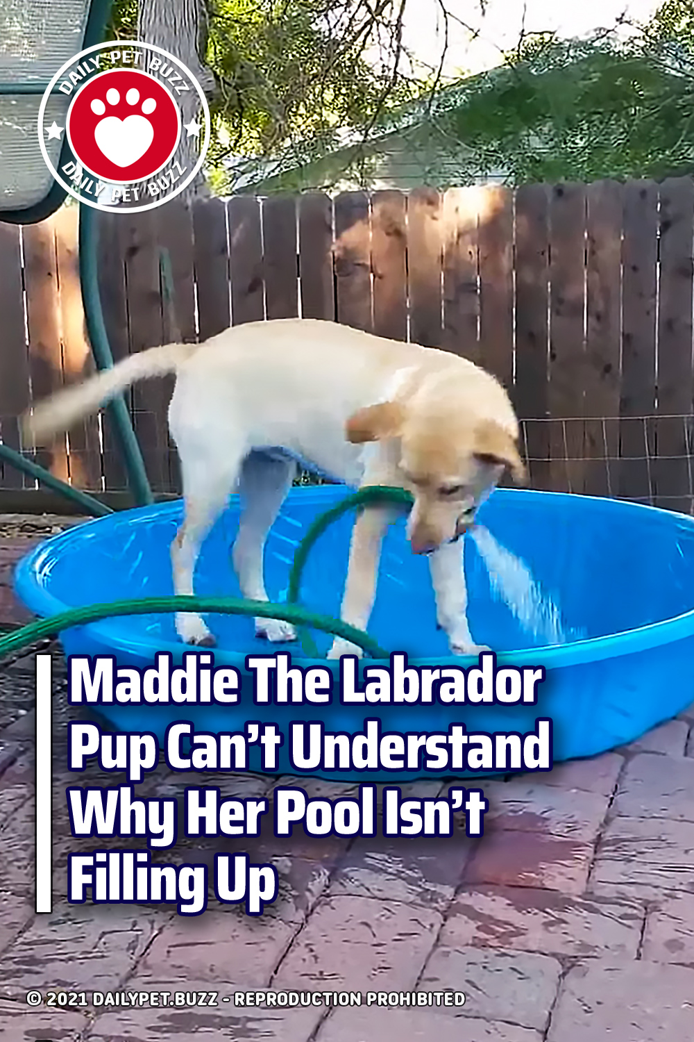 Maddie The Labrador Pup Can\'t Understand Why Her Pool Isn\'t Filling Up