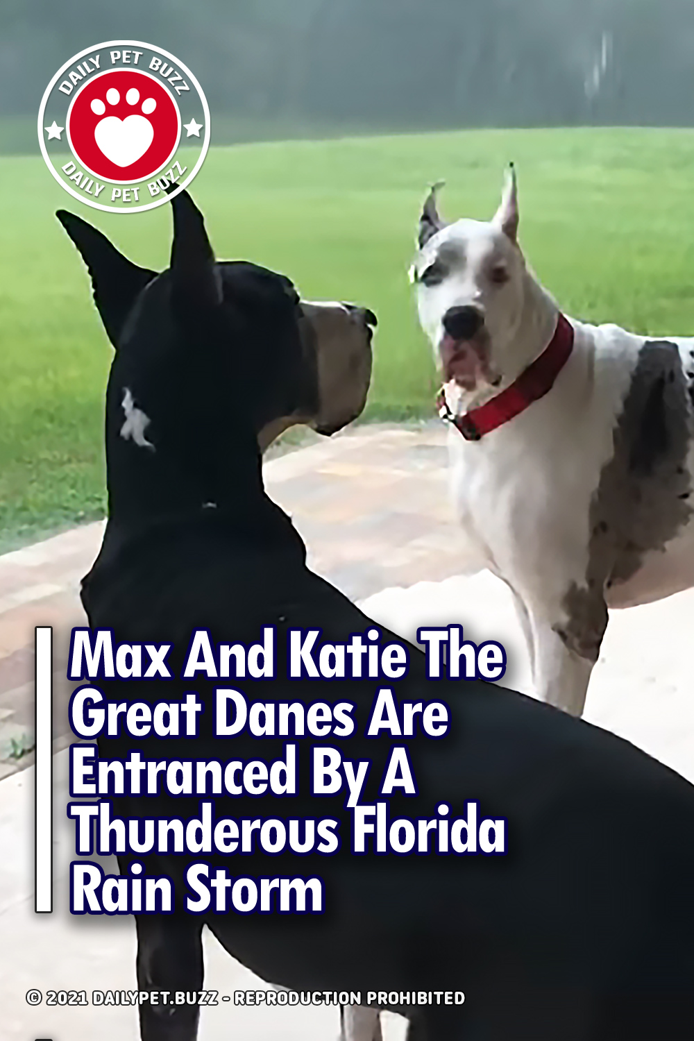 Max And Katie The Great Danes Are Entranced By A Thunderous Florida Rain Storm