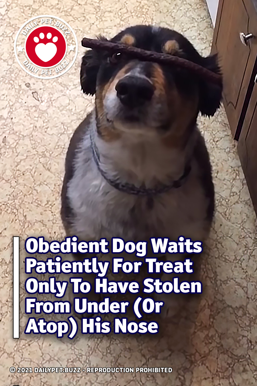 Obedient Dog Waits Patiently For Treat Only To Have It Stolen From Under (Or Atop) His Nose