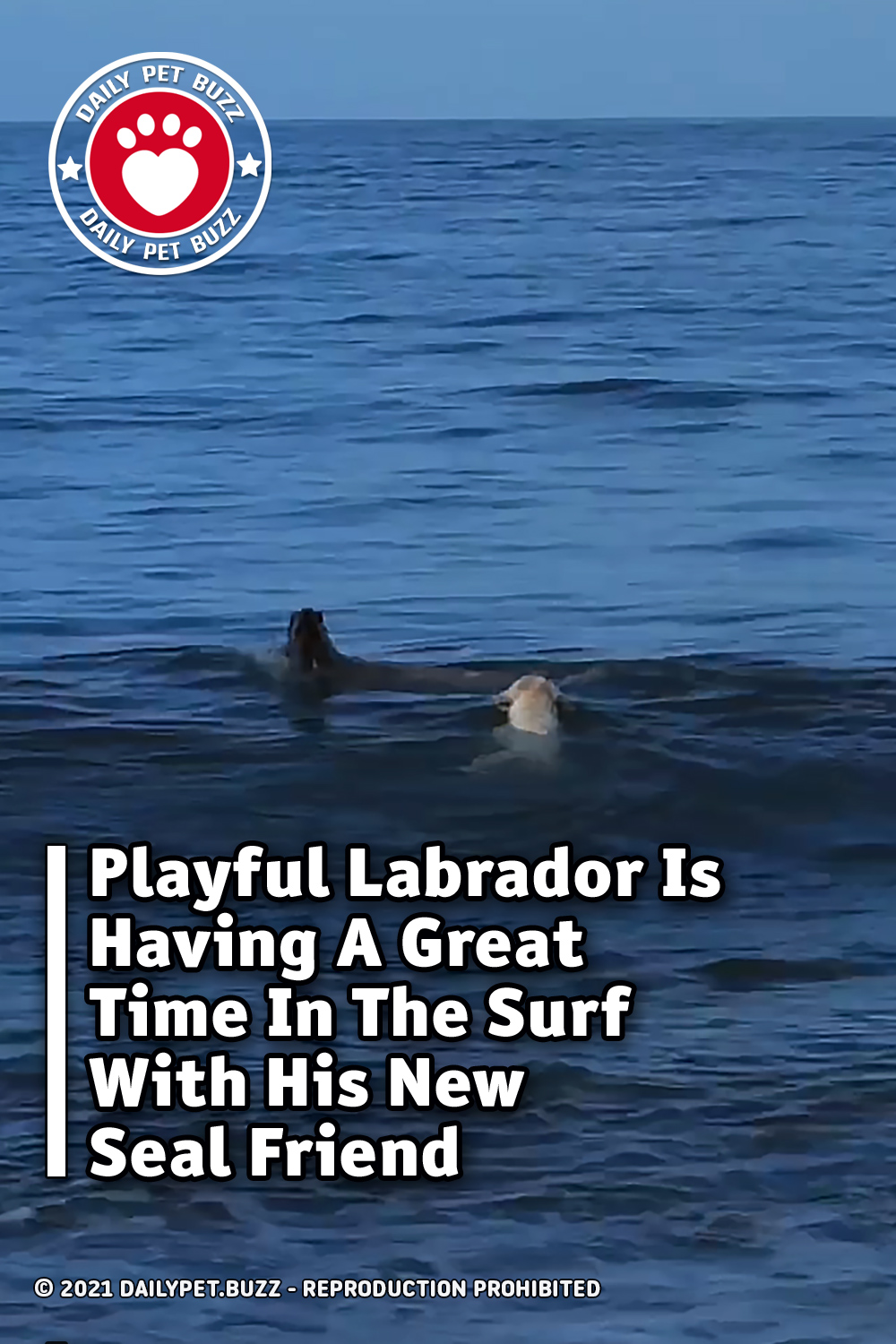Playful Labrador Is Having A Great Time In The Surf With His New Seal Friend