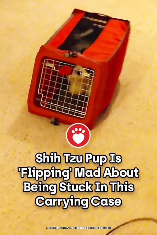 Shih Tzu Pup Is \'Flipping\' Mad About Being Stuck In This Carrying Case