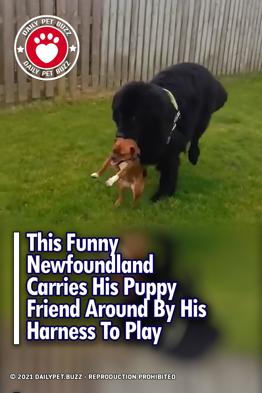 This Funny Newfoundland Carries His Puppy Friend Around By His Harness To Play