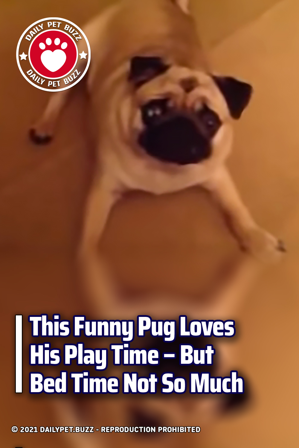 This Funny Pug Loves His Play Time – But Bed Time Not So Much