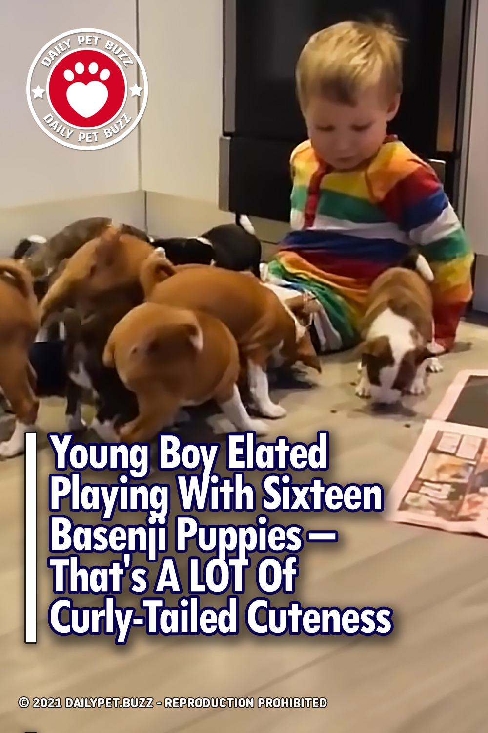 Young Boy Elated Playing With Sixteen Basenji Puppies – That\'s A LOT Of Curly-Tailed Cuteness