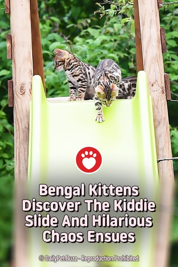Bengal Kittens Discover The Kiddie Slide And Hilarious Chaos Ensues