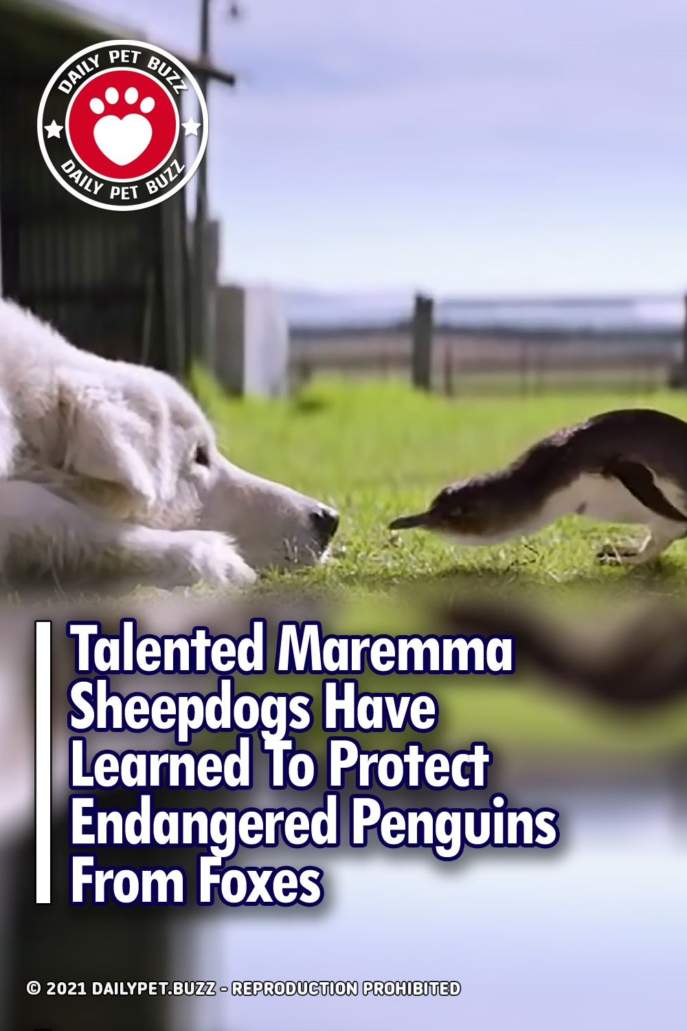 Talented Maremma Sheepdogs Have Learned To Protect Endangered Penguins From Foxes