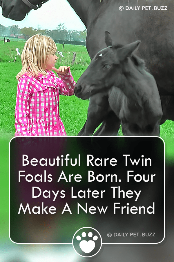 These beautiful and rare twin foals are making friends at only four days old. #drafthorses #horses #horsevideos #foals #animals #animalvideos