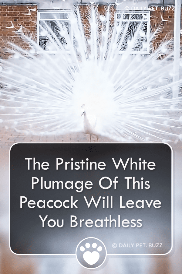 The Pristine White Plumage Of This Peacock Will Leave You Breathless
