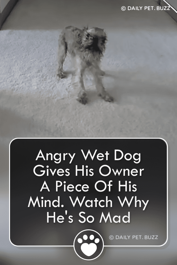 Angry Wet Dog Gives His Owner A Piece Of His Mind. Watch Why He\'s So Mad