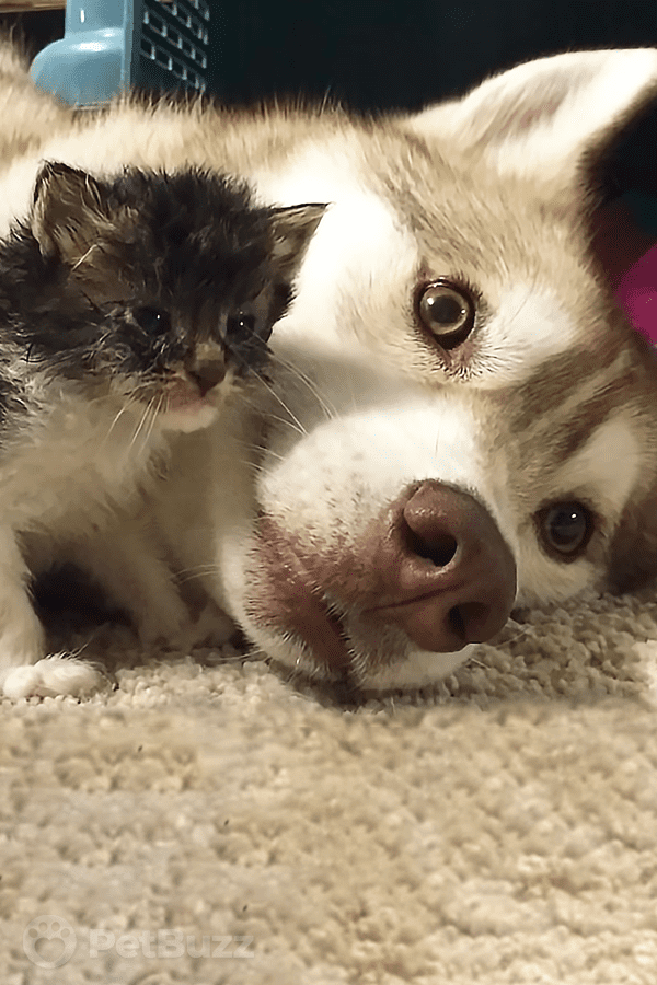 15792-Pinset-A-This-Beautiful-Husky-Finally-Gets-To-Be-A-(Surrogate)-Mom—-To-The-Cutest-Kitten