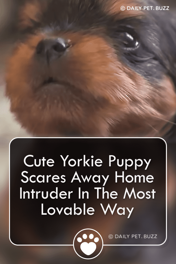 Yorkie Puppy Fends Off Home Intruder With The Cutest Barking Skills