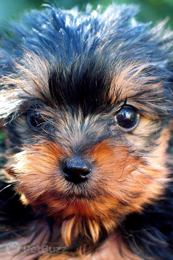 25088 Pinset Yorkie Puppy Fends Off Home Intruder With The Cutest Barking Skills