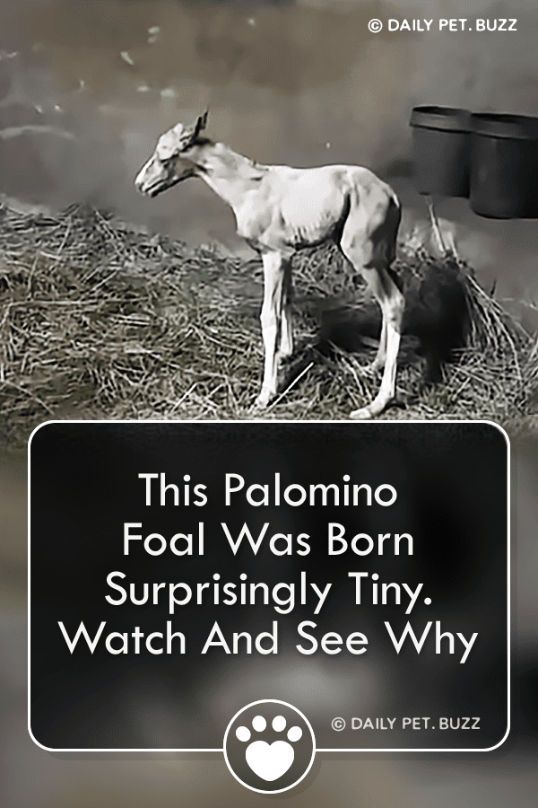 This Palomino Foal Was Born Surprisingly Tiny. Watch And See Why