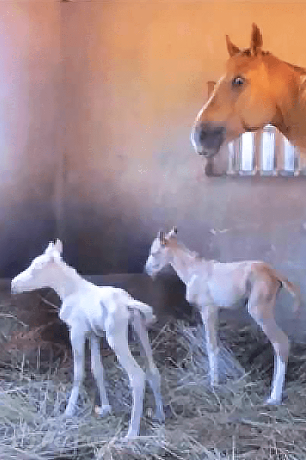 31017-Pinset-This-Palomino-Foal-Was-Born-Surprisingly-Tiny.-Watch-And-See-Why