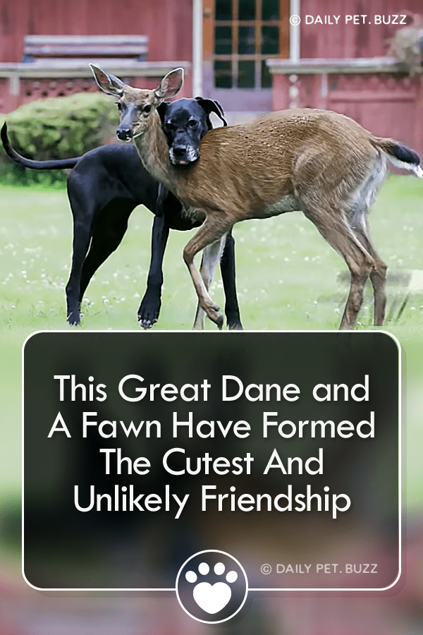 This Great Dane and A Fawn Have Formed The Cutest And Unlikely Friendship