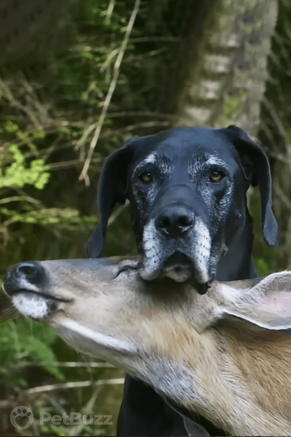 32198 Pinset This Great Dane and A Fawn Have Formed The Cutest And Unlikely Friendship