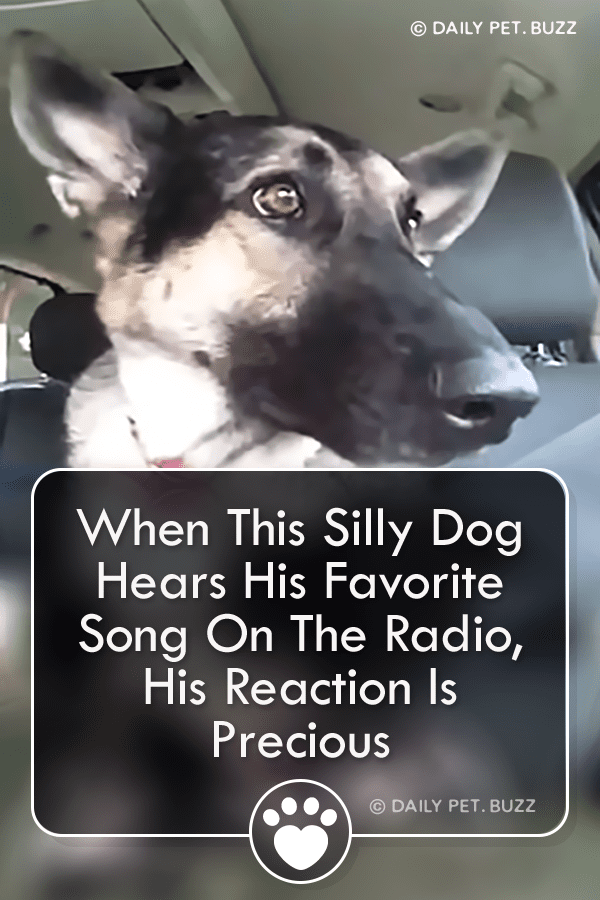 Dogs are awesome already, but when they are music fans? Even better. Watch this funny German Shepherd show his moves. #germanshepherd  #dogs #animals #dogvideos #germanshepherds #dog #animalvideos #cute #funny #pets