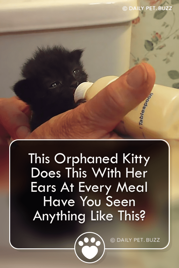 This Orphaned Kitty Does This With Her Ears At Every Meal – Have You Seen Anything Like This?