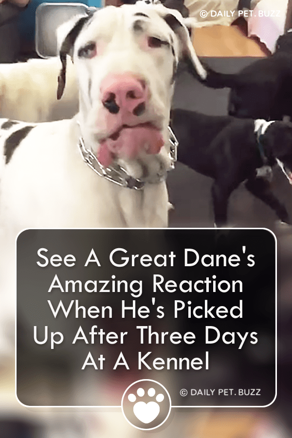 See A Great Dane\'s Amazing Reaction When He\'s Picked Up After Three Days At A Kennel