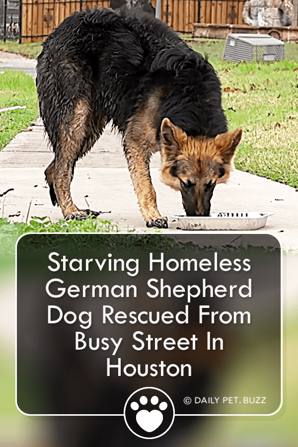 Starving Homeless German Shepherd Dog Rescued From Busy Street In Houston