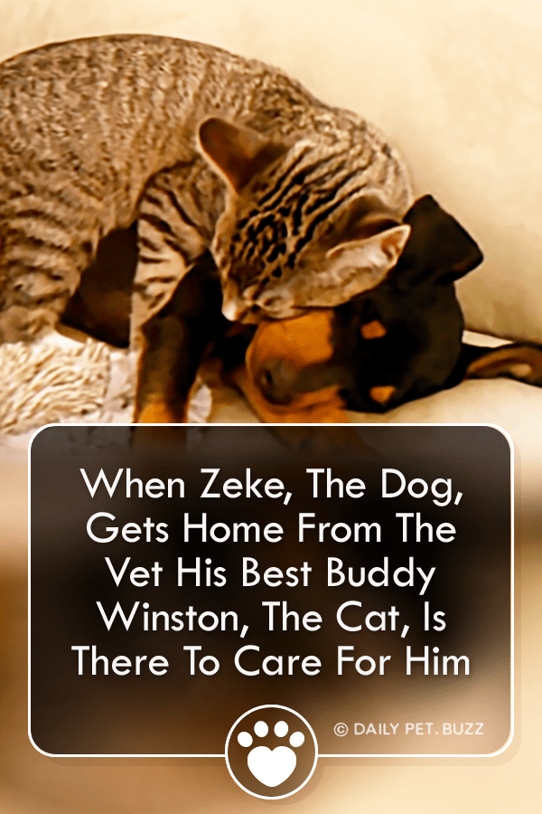 When Zeke, The Dog, Gets Home From The Vet His Best Buddy Winston, The Cat, Is There To Care For Him