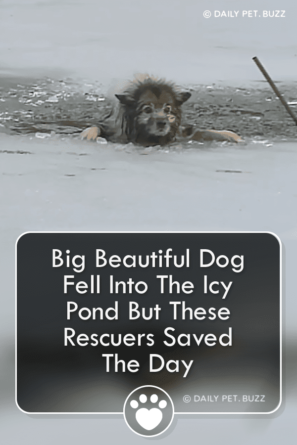 Big Beautiful Dog Fell Into The Icy Pond But These Rescuers Saved The Day