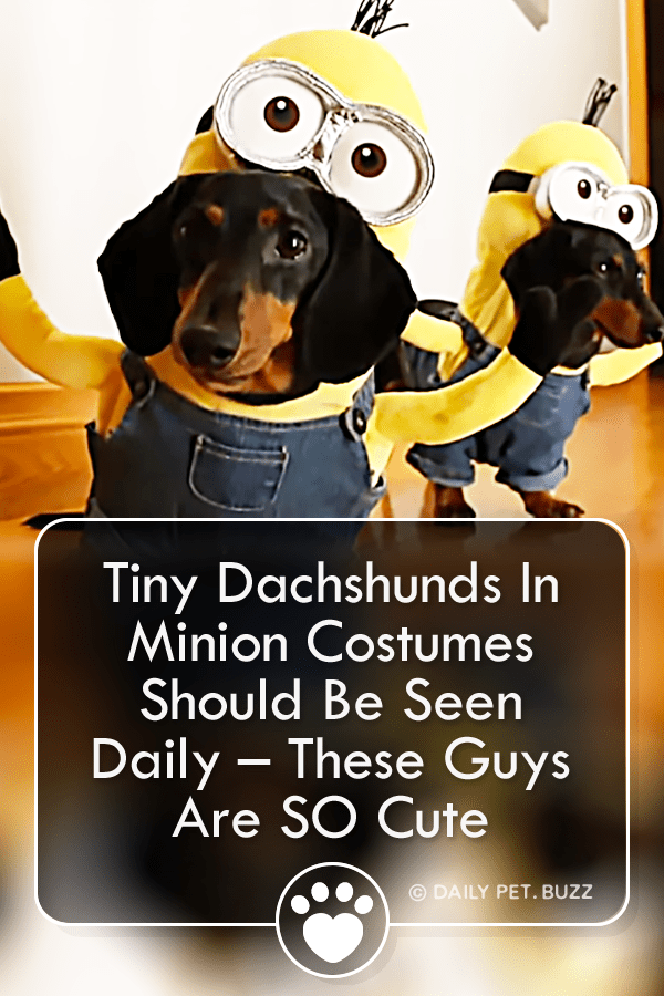Tiny Dachshunds In Minion Costumes Should Be Seen Daily – These Guys Are SO Cute