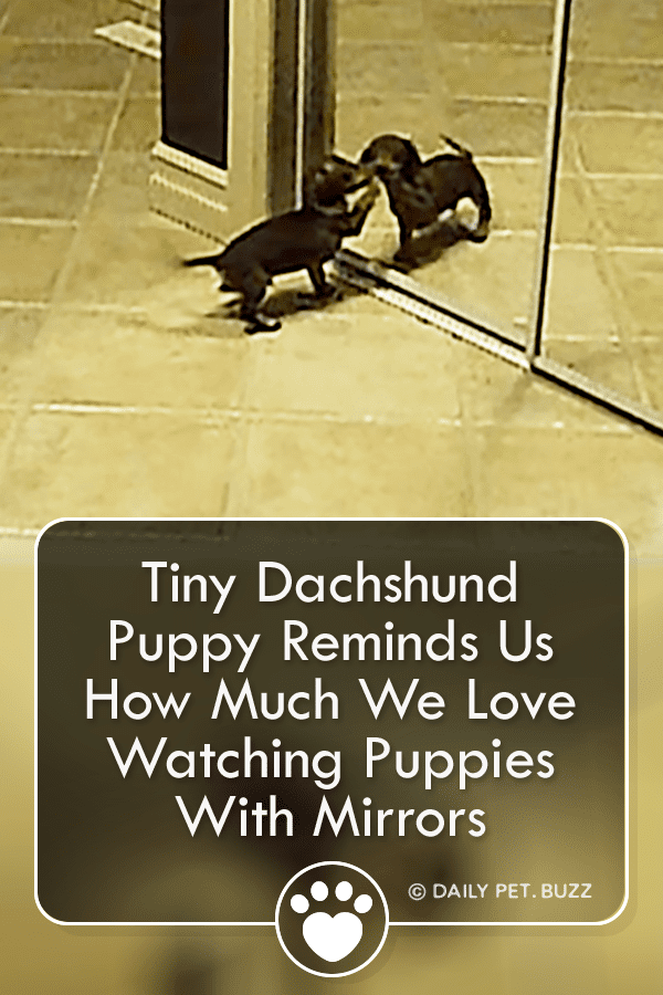 Tiny Dachshund Puppy Reminds Us How Much We Love Watching Puppies With Mirrors