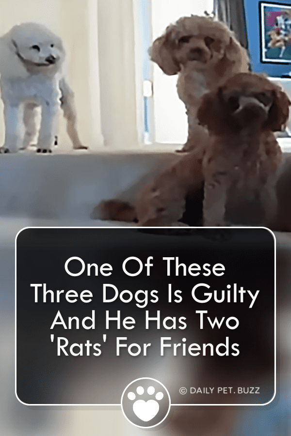 One Of These Three Dogs Is Guilty And He Has Two \'Rats\' For Friends