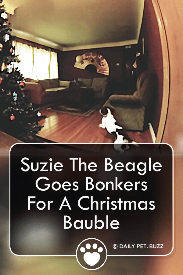 Suzie The Beagle Goes Bonkers For A Christmas Bauble