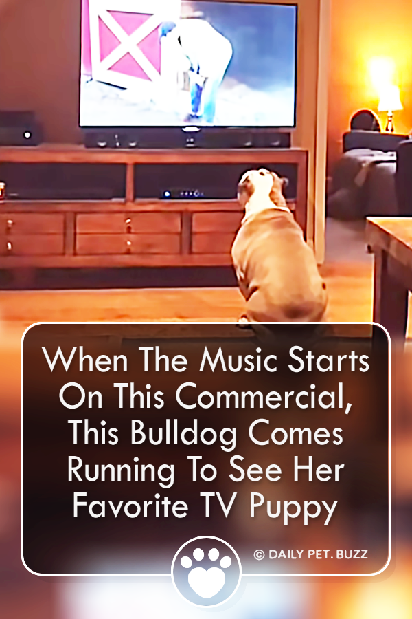 When The Music Starts On This Commercial, This Bulldog Comes Running To See Her Favorite TV Puppy