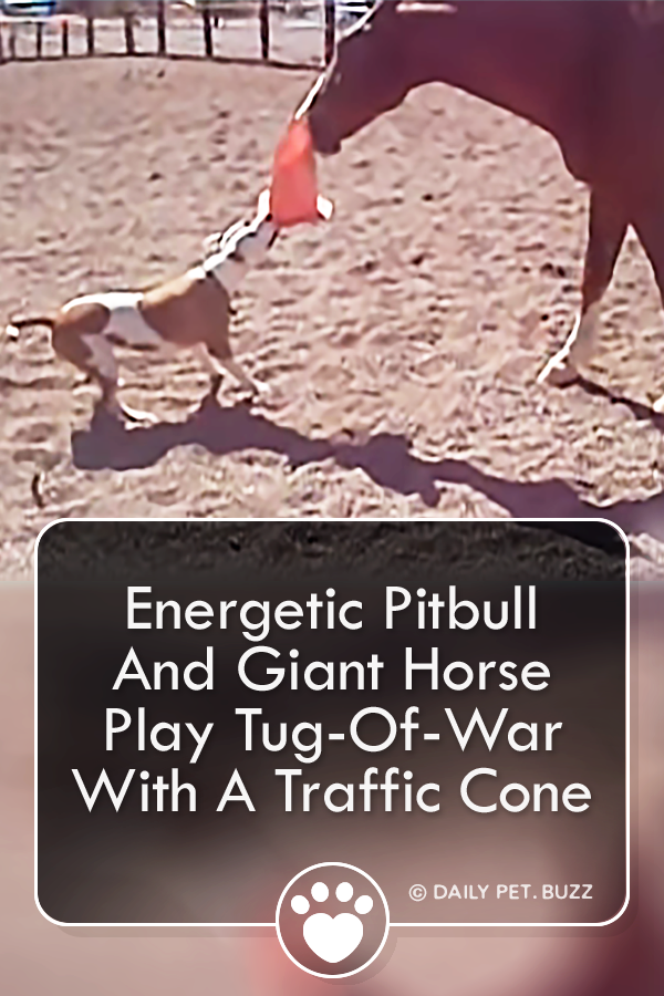 Energetic Pitbull And Giant Horse Play Tug-Of-War With A Traffic Cone