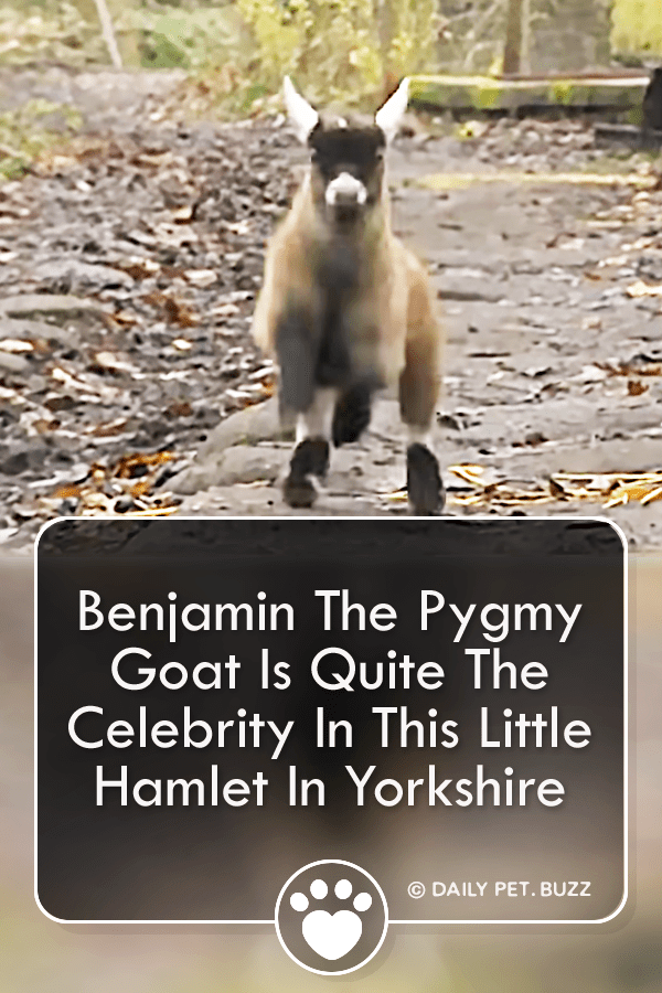Benjamin The Pygmy Goat Is Quite The Celebrity In This Little Hamlet In Yorkshire